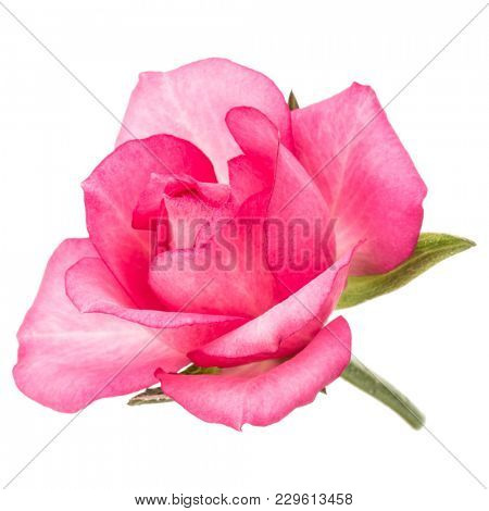 one pink rose flower isolated on white background cutout