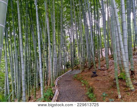 Kyoto, Japan, August 14 2017: Japan At The Bamboo Forest In Summer Season. Large Bamboo In Bamboo Fo