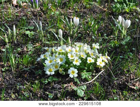 Beautiful Spring Bloosom Of Primula Flowers (primula Vulgaris)