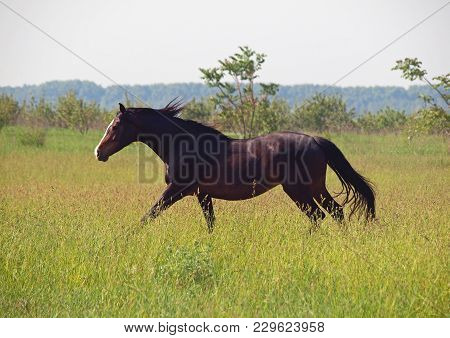 The Thoroughbred Horse Gallops On A High Grass