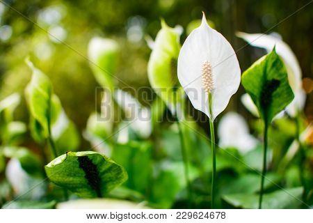 Beautiful Calla Flower In A Field Close Up