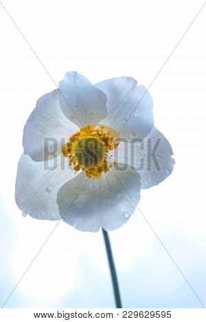 Three Leaved Anemone Flower Against Blue Sky. Side View
