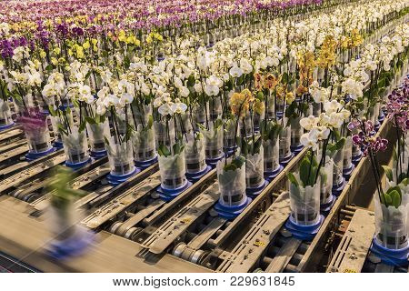 Honselersdijk, The Netherlands - January 5, 2018: Confeyer Belt In A Great Modern Orchid Growing Gre
