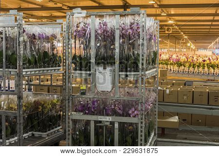 Honselersdijk, The Netherlands - January 5, 2018: Trolley In A Great Orchid Growing Greenhouse In We