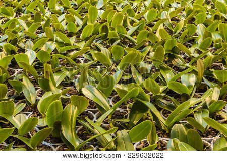 Honselersdijk, The Netherlands - January 5, 2018: Small Orchid Cuttings In Pot In Orchid Growing Gre