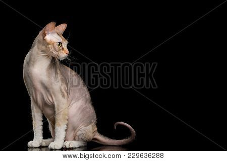 Pink Sphynx Cat Sitting And Looking At Side Isolated On Black Background, Profile View