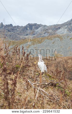 A Speckled Ptarmigan Changing To Its Winter Colors With Its Head Up, Keep An Eye On Its Surroundings