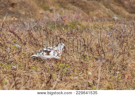 A Speckled Ptarmigan Changing To Its Winter Colors In The Shrub Of Alaska