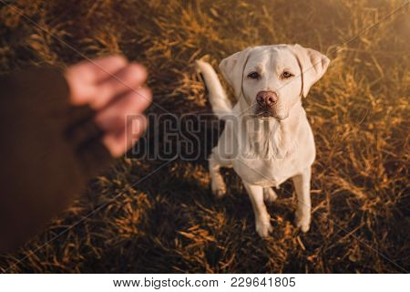 Young Labrador Retriever Dog Puppy Pet With Big Eyes Eating Delicious Food Given To Him By Person Ou