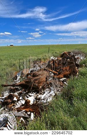 A Pile Of Bones And Carcasses From Dead Beef Animals Are Left In A Bone Pile On A Western Prairie Ra