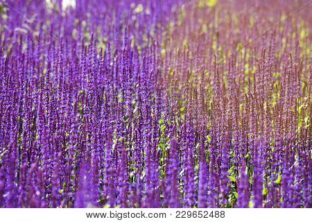 The Sage, Salvia Nemorosa Ostfriesland Mauve In Fields