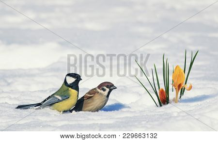 Postcard Two Birds, Sparrow And Tit Near Bright Beautiful Spring Flower Snowdrop Crocus Breaks Throu