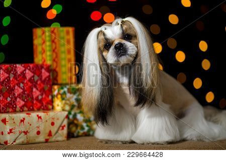 Beautiful Shih-tzu Dog With Christmas Presents And Bokeh. Best Present In The Year Of The Dog. Best
