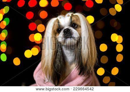 Beautiful Shih-tzu Dog Portrait. Best Fashion Style Of The Professional Groomer Care.