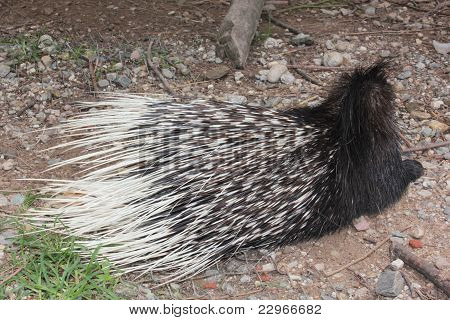 A Porcupine with its needle sharp spines poster