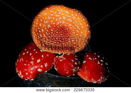 Poisonous Fly Agaric Mushrooms In A Vintage Gray Cast Iron Pot On A Black Wooden Background Ingredie