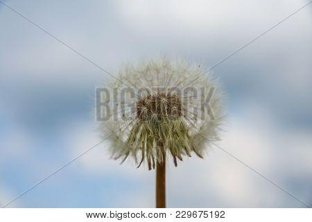 Dandelion (latin Taraxacum)