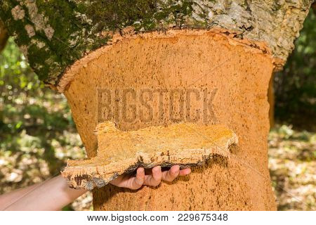 Hand Holding Cork Tree Bark At Tree Trunk In Orchard