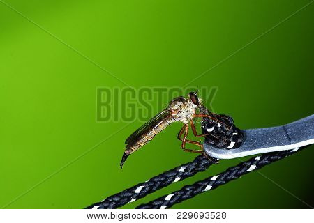 Close Up Of Robber Fly (asilidae) Or Assassin Fly