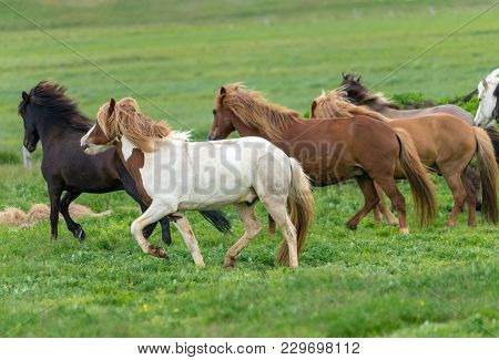 A herd of Icelandic horses in a pasture in Iceland poster