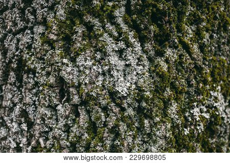 Moss And Lichen Texture On Oak Tree Bark.  Organic Abstract Texture And Background For Design. Close