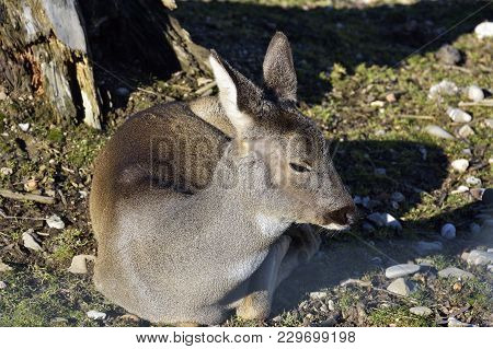 Beautiful Young Deer In The Forest (cervidae)