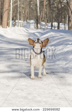 A Dog With Big And Funny Ears Barking In A Winter Park.