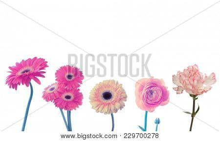 Pink carnation, anemone, gerbera flower isolated on white. Collection.