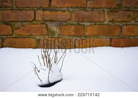 Dried Plants Covered In Snow In Freezing Winter.