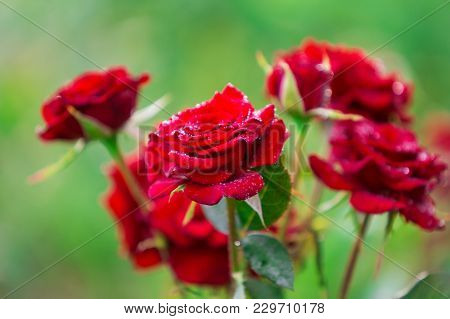 Gorgeous Red Rose Flowers With Rain Drops On Amazing Floral Décor. Great Fresh Rose Flower On Bloomi