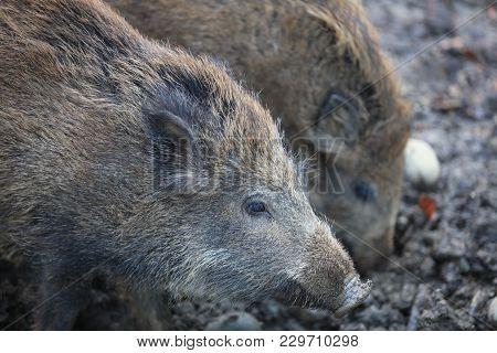 Wild Boar Piglets (sus Scrofa) In The Forest. Germany