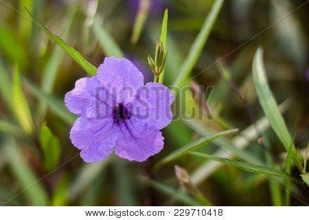 Purple Ruellia Tuberosa Flower Blooming, Ruellia Tuberosa Flower In The Garden.