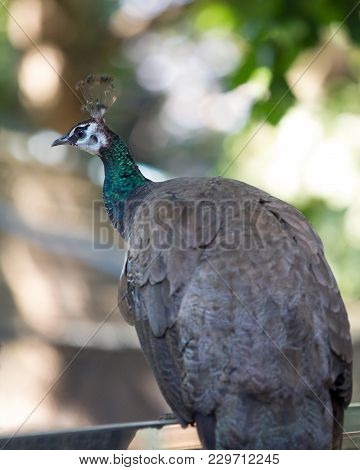 Peacock Female, Peafowl Which Include Three Species Of Birds In The Genera Pavo And Afropavo Of The