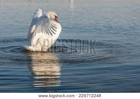 Mute Swan, Cygnus Olor, White Swan, Flapping Wings, Dries Feathers And Standing Upright Reflecting O