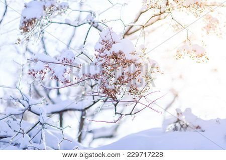 Frozen Tree Branch In Winter. Frozen Branches Affected By Frost.