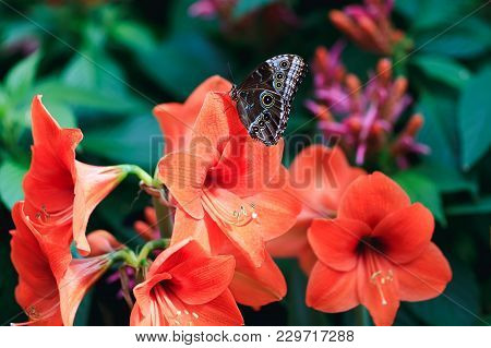 Amazing Red Lily With Cute Lime Butterfly In Spring Garden. Real Butterfly On Petals Of Coral Butter