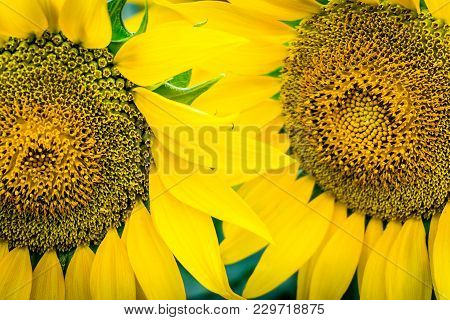 Two Sunflowers With Pollen And Bright Yellow Leaves. Close-up Of Petals And Pollen Of Bright Yellow