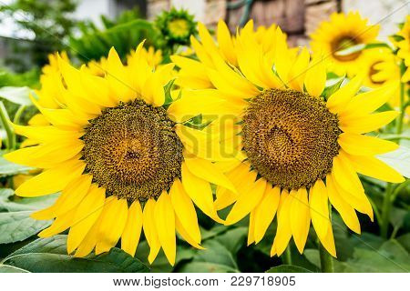 Two Sunflowers With Pollen And Bright Yellow Leaves.the Garden Of Sunflower With Pollen And Bright Y