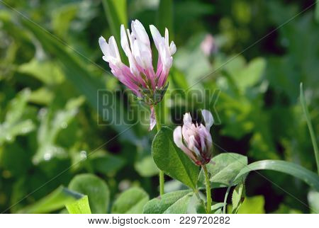 Spring Flowering Clover On A Meadow Among The Grass (lat. Trifolium Clypeatum)