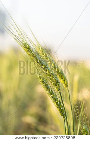 Barley Grain Hardy Cereal That Has Coarse Bristles Extending From The Ears Chiefly For Use In Brewin