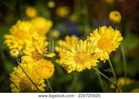 Chrysanthemum Flowers Bloom In Garden