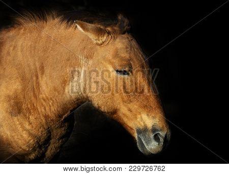 Przevalsky Horse Portrait Close-up On A Black Background