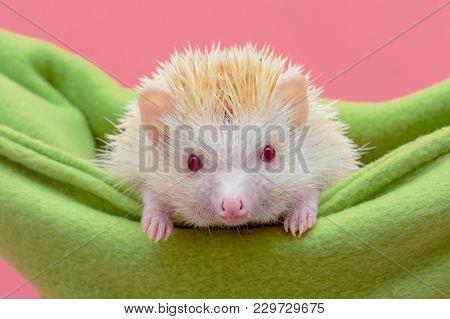Cute Dwarf Hedgehog In Green Baby Cot