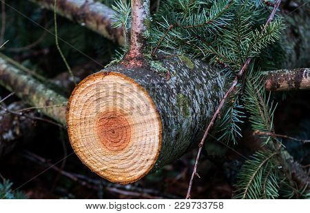 Freshly Cut Young Pine Tree With Colorful Rings And Core Exposed