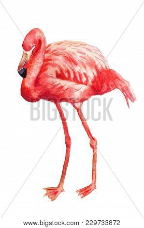 Watercolor Image Of Flamingo On White Background