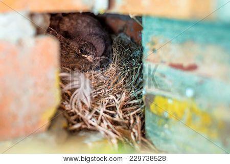 Close Up Small Nestlings Of Black Redstart Or Phoenicurus Ochruros In Nest