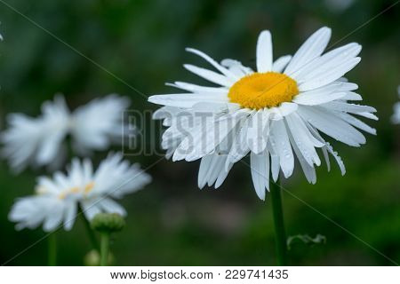 Daisy Crazy, Wheel, Chain, Chamomel, Gang Bang In Flowerbed. One Flowers Of Large White Chamomile Wi