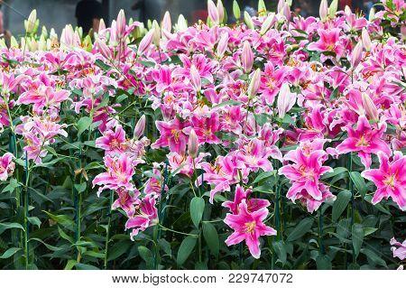 Beautiful Pink Lily Flower In Garden In Flower Festival.