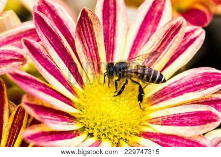 Close Up Bees Searching For Nectar From Pollen Of Flowers In Morning Garden. The Bees Are Insects To