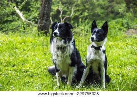 A Two Border Collies Sitting On The Grass